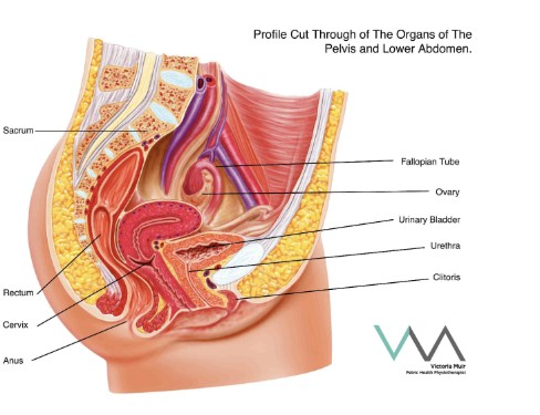 female-anatomy-sm.jpg